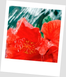 Red Flower in the rain
